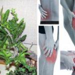 Asombroso: 7 hierbas para reemplazar Analgésicos sin efectos secundarios …