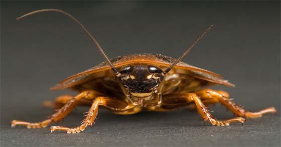 , Cómo matar con eficacia cada cucaracha en tu casa utilizando un químico único!, Alimenta y Cura