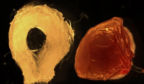 , La ingeniería celular fabrica hígados de laboratorio a partir de células madre adultas humanas, Alimenta y Cura
