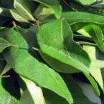 Remedios con plantas para las canas