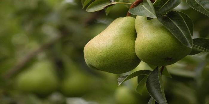 , ¿Sabías que la pera es eficaz para el control de la presión arterial y mucho más?, Alimenta y Cura