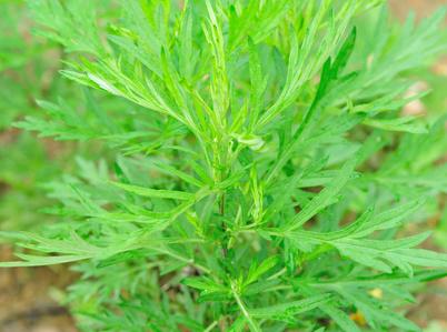 , Propiedades medicinales de la Artemisia argyi Levl. & Vant, Alimenta y Cura
