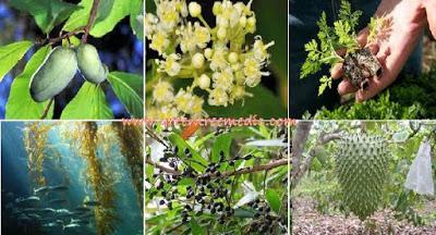 , 6 PLANTAS DE GRAN ALCANCE QUE DESTRUYEN EL CÁNCER PROBABLEMENTE NUNCA HAS OÍDO HABLAR DE ELLAS, Alimenta y Cura