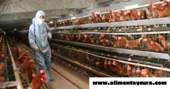 , ¡Finalmente! La FDA admite que la carne de pollo contiene arsénico que causa cáncer, Alimenta y Cura