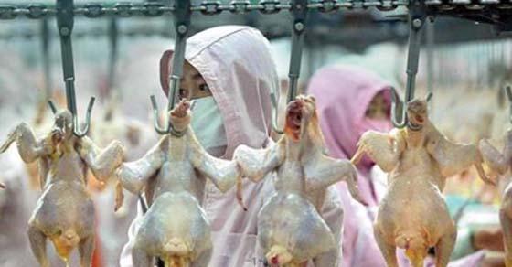 , USDA dice: 'Enviamos su pollo de los Estados Unidos a China para sacrificarlo, procesar barato y luego es enviado de vuelta a ti!', Alimenta y Cura