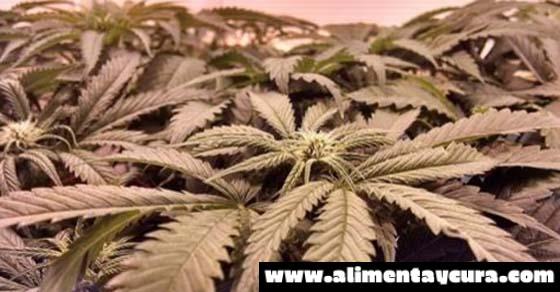 Alaska: productos de marihuana son incautados y eliminados de tiendas legales
