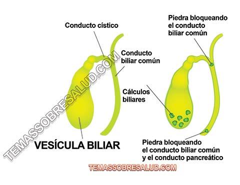 Conexión entre las Hormonas y la Vesícula Biliar