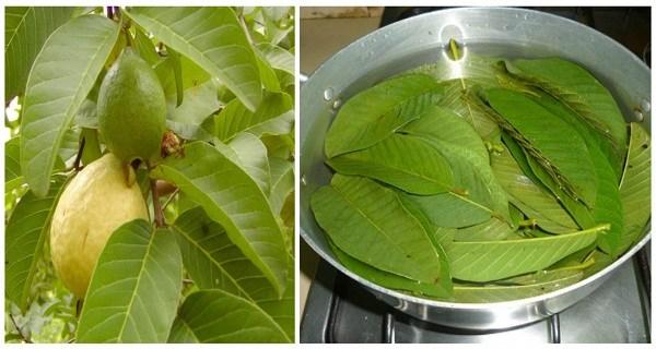 beneficios de las hojas de guayaba
