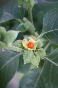 Ashwagandha – Que es, propiedades, contraindicaciones, dosis
