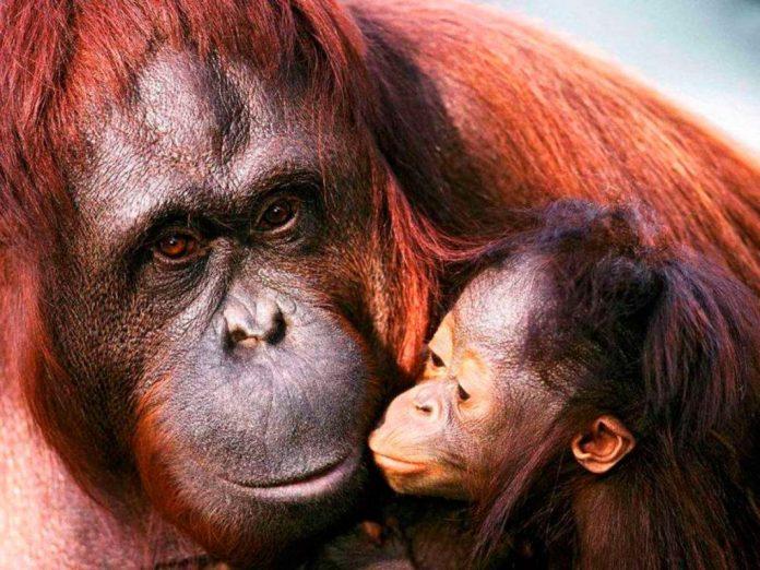 , Trafican orangutanes para ser ESCLAVAS S3XU4LES. Mira cuánto pagan por una hora, Alimenta y Cura