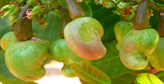 , Esta semilla puede sanar la tuberculosis, neumonía y suprimir las bacterias que provocan la caríes dental., Alimenta y Cura
