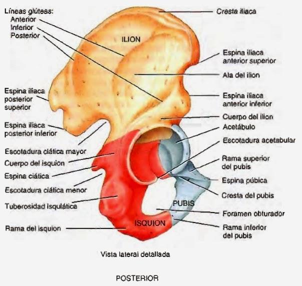 , Hueso coxal – Que es, definición, anatomía, Alimenta y Cura
