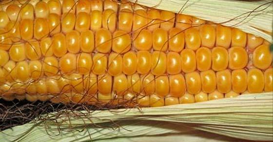 , Los OGM se tornan más tenebrosos con la aprobación del nuevo producto de Monsanto, Alimenta y Cura