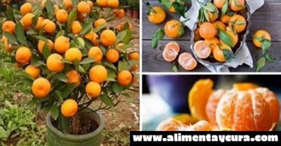 No comprarás mandarinas otra vez, plántalas en una maceta y siempre tendrás cientos de ellas!