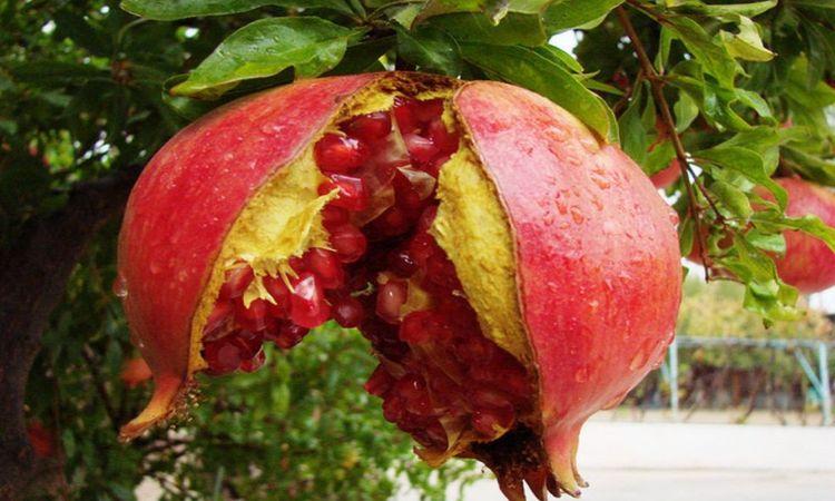 , La Granada: La Fruta que Limpia tus Arterias, Enriquece la Sangre, Desinflama el Intestino y Ademas …, Alimenta y Cura, Alimenta y Cura
