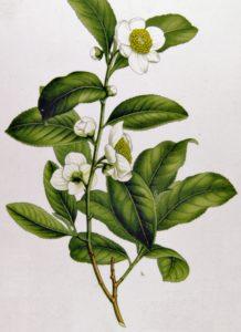 , Camilina y sus propiedades, Alimenta y Cura