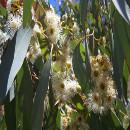salud-eucalipto