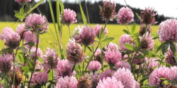 Trébol Rojo - Trifolium pratense