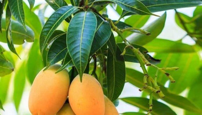 , ¿Cómo las hojas de mango pueden tratar a la diabetes?, Alimenta y Cura, Alimenta y Cura