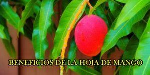 , Té de Hojas de Mango para Tratar la Diabetes, Alimenta y Cura