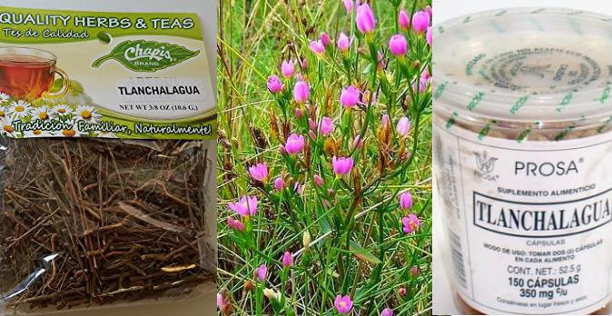 , Beneficios de tomar Tlanchalagua (Planta medicinal), Alimenta y Cura
