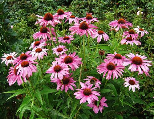 , Equinácea, propiedades y beneficios de esta planta medicinal, Alimenta y Cura