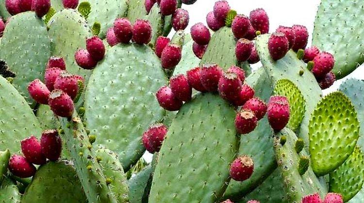 , NOPAL: Un fruto excepcional para la tos, limpiar hígado, bajar colesterol y más. Conoce todos sus beneficios!, Alimenta y Cura, Alimenta y Cura