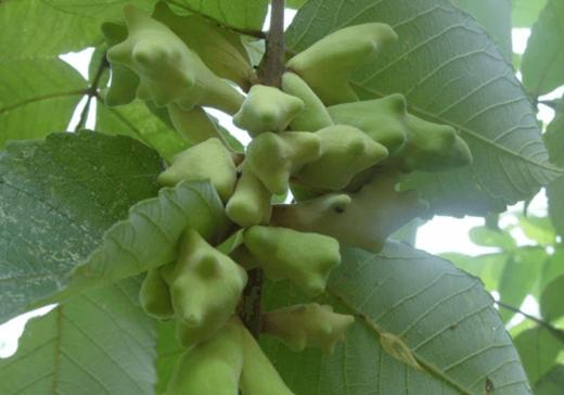 , Planta china Galla Chinensis demuestra ser una promesa contra la caries dental, Alimenta y Cura