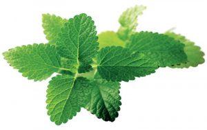 , Planta Medicinal melisa o toronjil, Alimenta y Cura