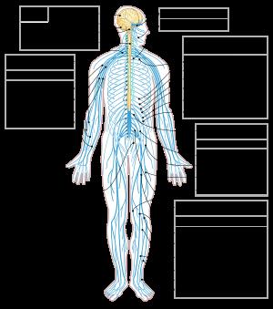 , Sistema nervioso, la importancia de mantenerlo saludable, Alimenta y Cura, Alimenta y Cura