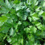 Elabora este remedio casero a base de cilantro para desintoxicar los riñones, el páncreas y el hígado
