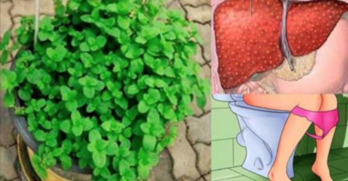 , Con esta planta podrás sacar toda la grasa de tu hígado por el baño en 21 días., Alimenta y Cura, Alimenta y Cura