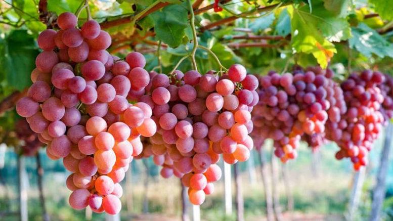 , encuentran compuestos en uva que incrementan energía de células renales y mejoran su funcionamiento, Alimenta y Cura, Alimenta y Cura
