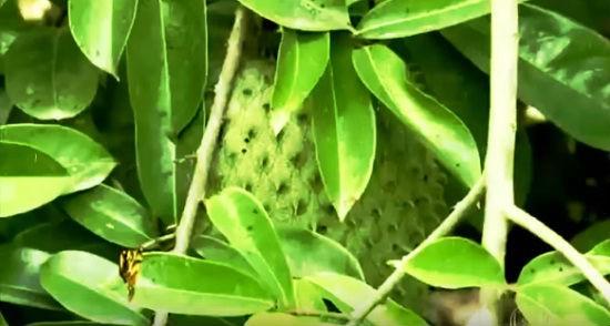 , Beneficios de las Hojas De Guanábana en Té y en extracto, Alimenta y Cura, Alimenta y Cura