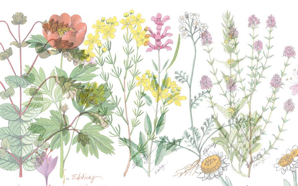 , 7 plantas medicinales para los tiempos modernos, Alimenta y Cura, Alimenta y Cura