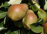 , Usos medicinales y aplicaciones curativas de la pera, Alimenta y Cura