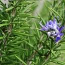 , Romero: planta medicinal que mejora la memoria, el dolor de cabeza, la cistitis y la circulación sanguínea, Alimenta y Cura