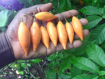 , Plantas de los dioses: Iboga, Alimenta y Cura