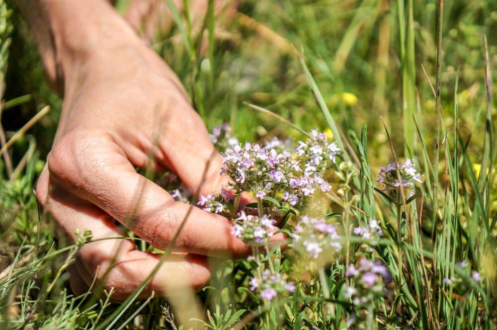 , Descubre los beneficios del tomillo y sus usos, Alimenta y Cura