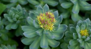 , Rhodiola: Planta que combate la depresión, las grasas y más, Alimenta y Cura